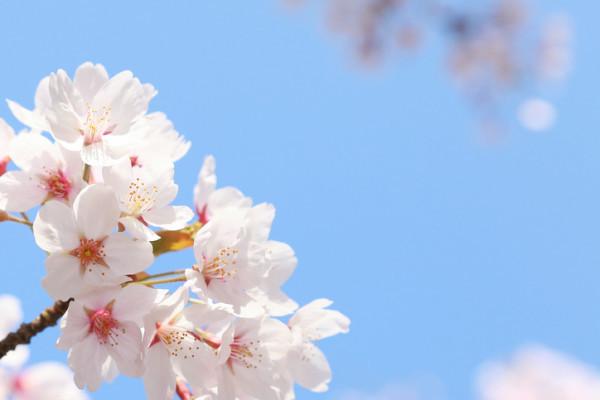 愛媛 新 一期一会 桜 プロフ画像